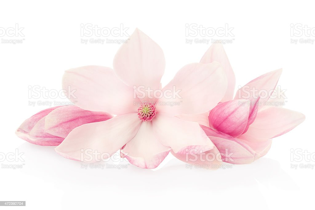 Magnolia, pink spring flowers and buds group stock photo