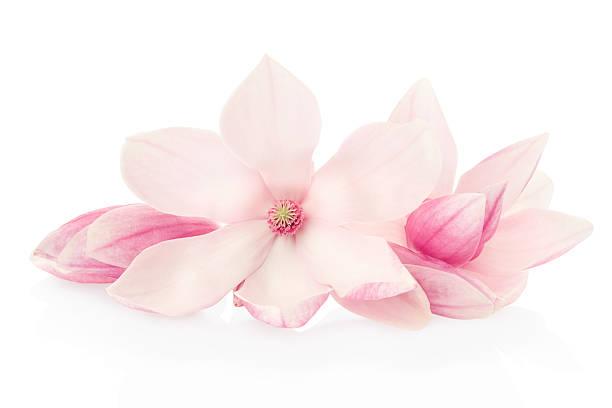 розовая весна магнолия, цветы и рецепторы группа - magnolia стоковые фото и изображения