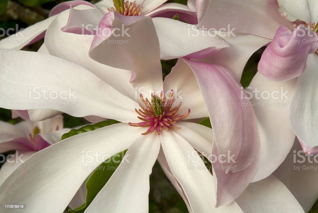 Magnolia Pinkie royalty-free stock photo