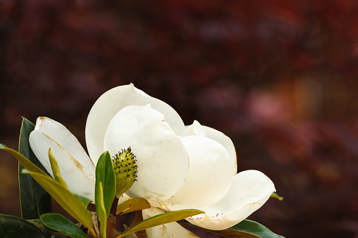 Magnolia Profile with Red