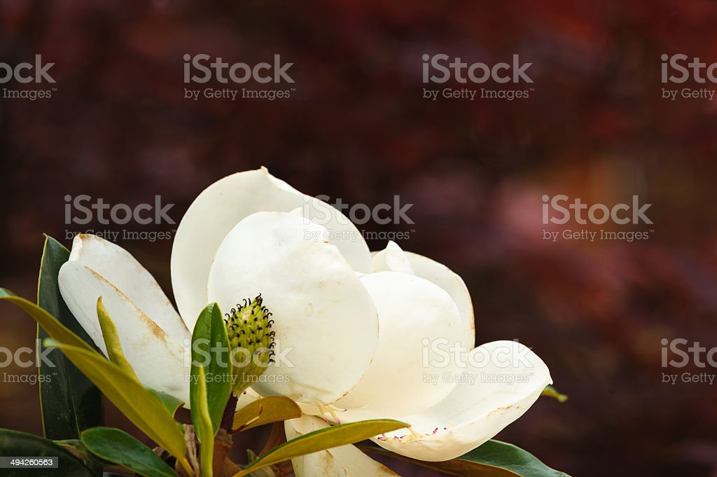 Magnolia Profile with Red stock photo