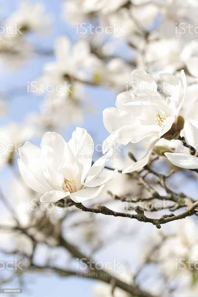 Magnolia series I royalty-free stock photo