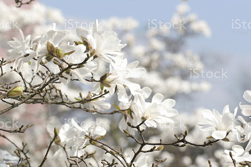 Magnolia series VII royalty-free stock photo
