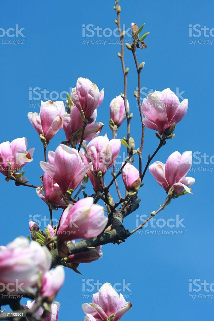 Magnolia soulangeana branch royalty-free stock photo