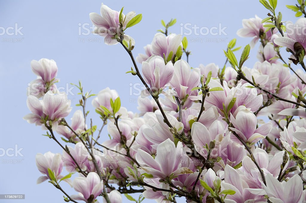 Magnolia soulangeana in bloom against Blue Sky royalty-free stock photo
