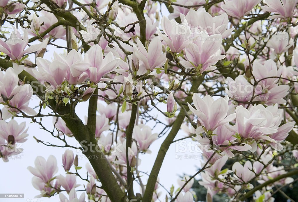 Magnolia soulangeana in bloom royalty-free stock photo