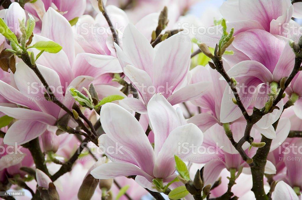 Magnolia soulangeana in bloom royalty-free stock photo
