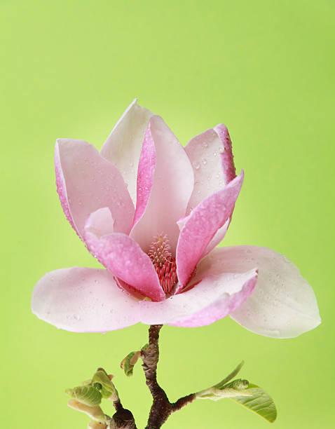 Tulpenmagnolie auf grünem Hintergrund – Foto