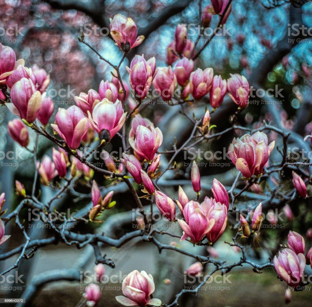Magnolia  soulangeana, saucer magnolia  tree stock photo