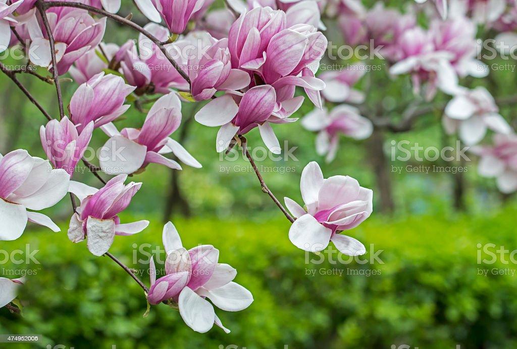 Magnolia  soulangeana (saucer magnolia) tree stock photo