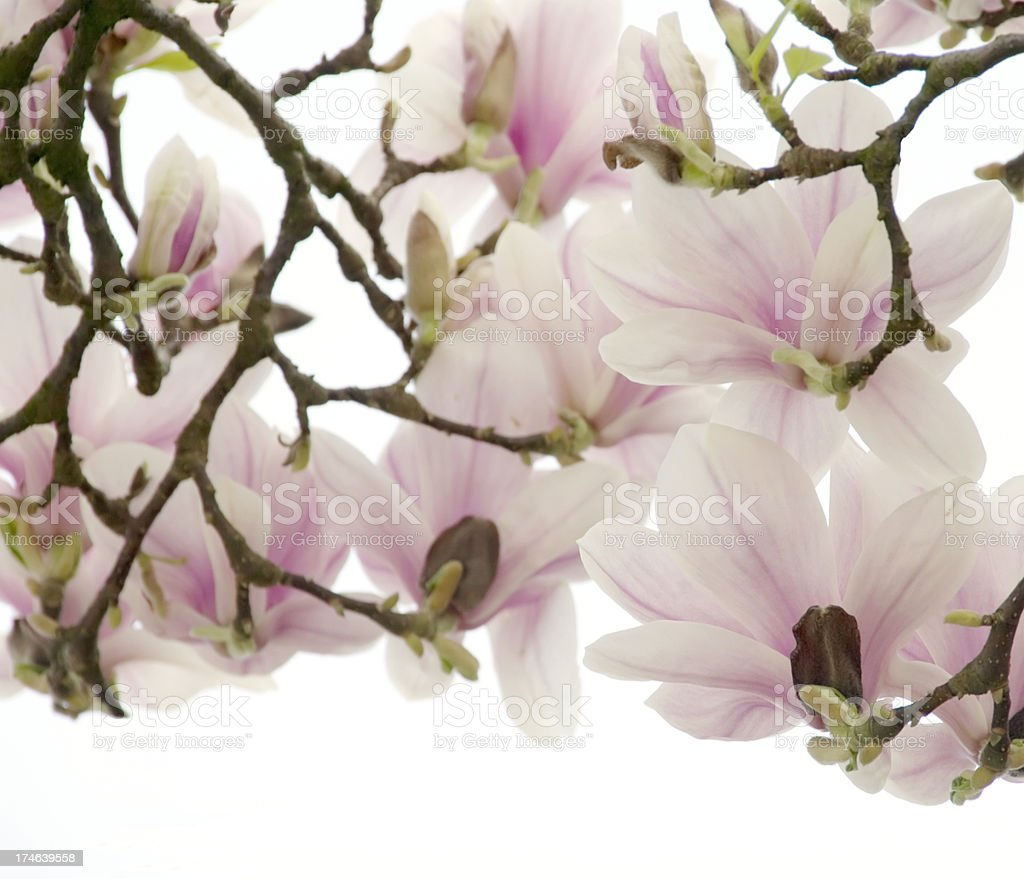 Magnolia soulangeana with Clipping Path royalty-free stock photo