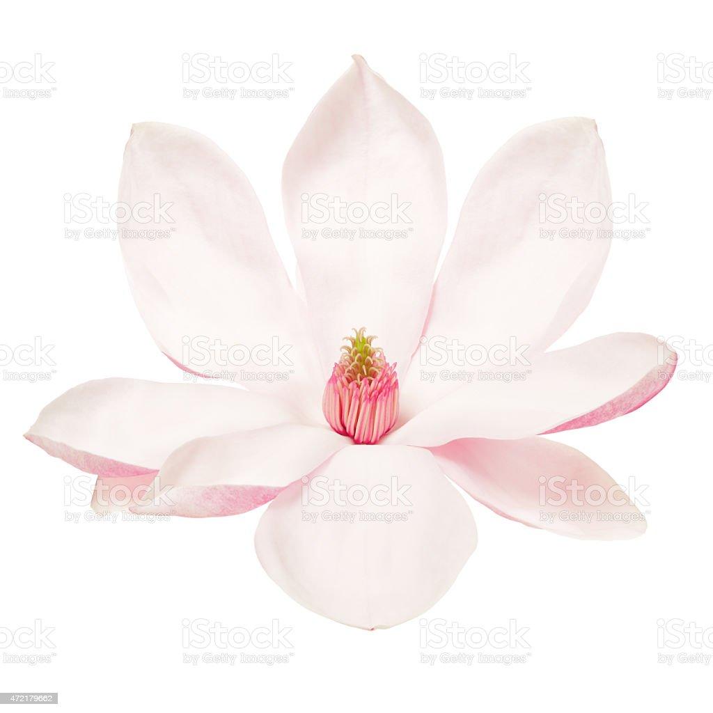 Magnolia, spring flower on white stock photo