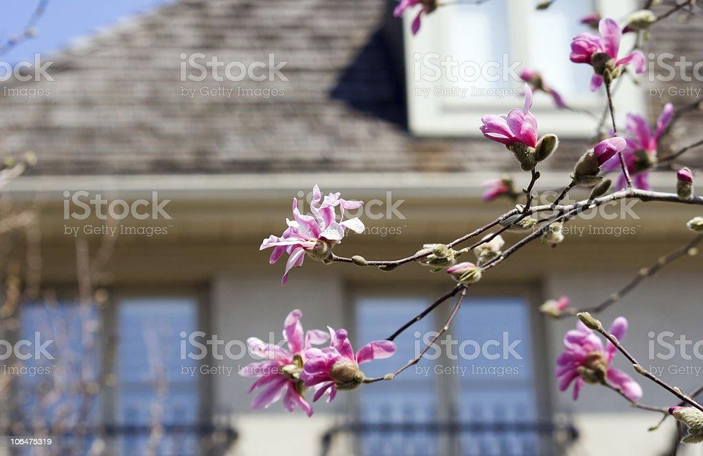 Magnolia stellata royalty-free stock photo