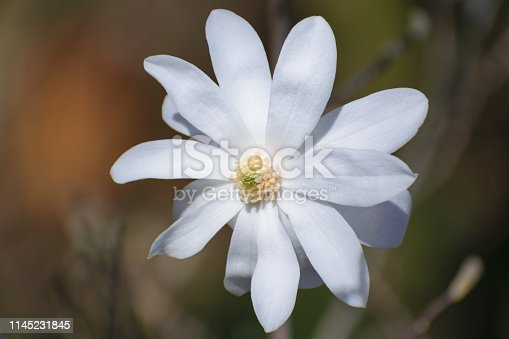 Magnolia stellata (star magnolia) white flower detail, isolated