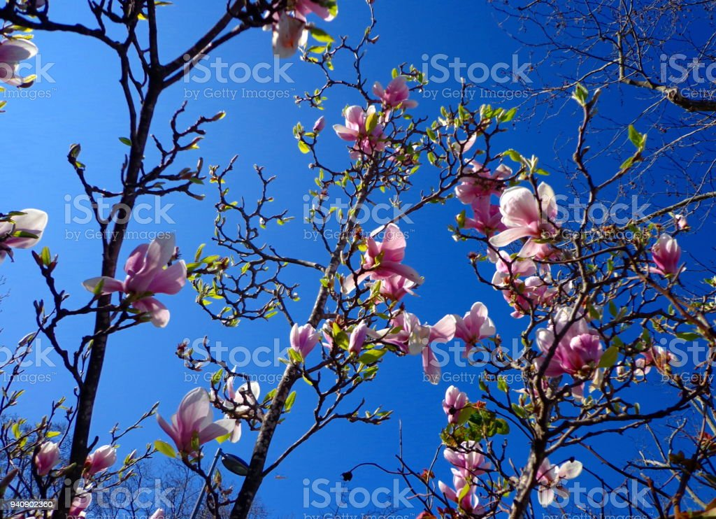Magnolia tree and pink flowers in the spring stock photo more magnolia tree and pink flowers in the spring royalty free stock photo mightylinksfo