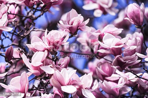 Blooming magnolia tree full frame
