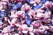 Blooming magnolia tree full frame