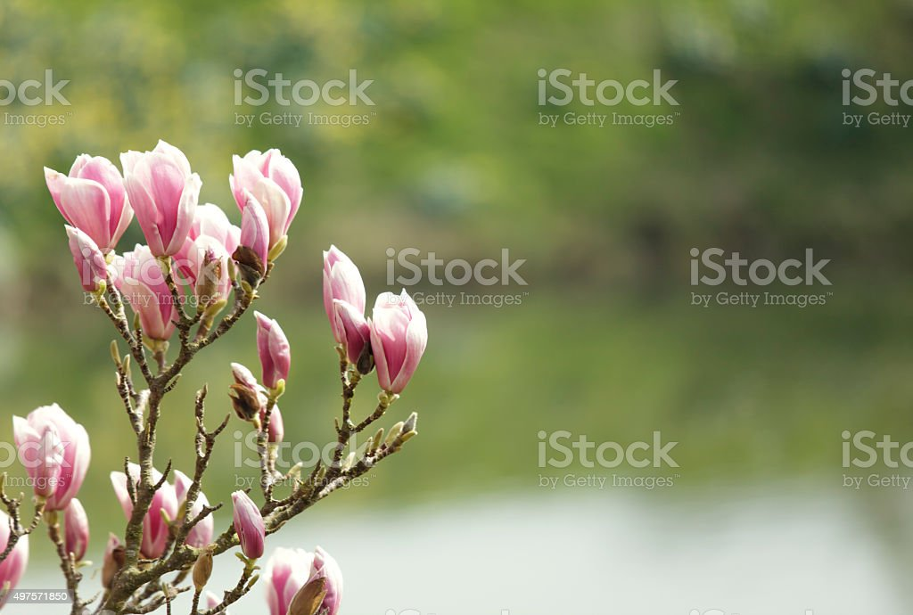 Magnolia tree blossom stock photo