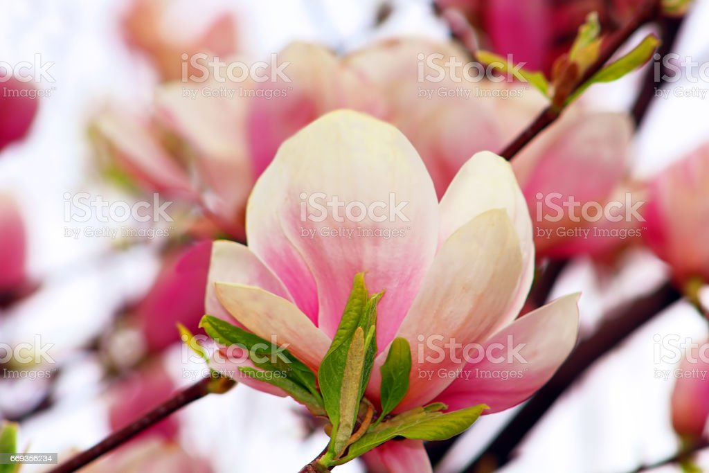 Magnolia Tree Blossom Stock Photo More Pictures Of Backgrounds