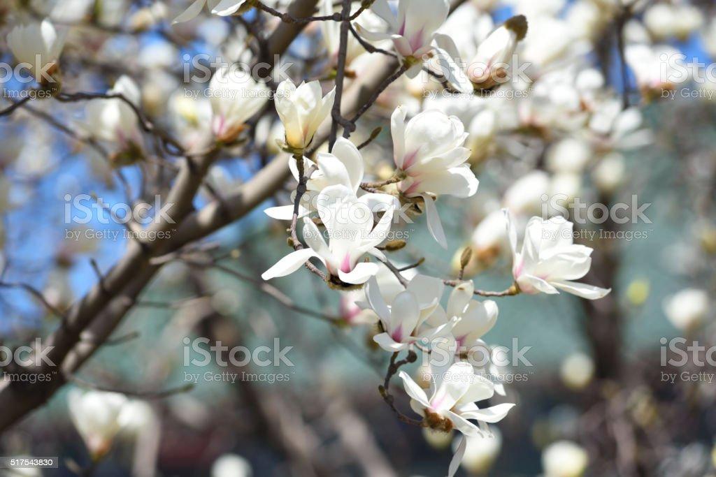Magnolia tree blossom under blue sky stock photo