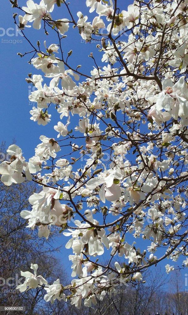 Magnolie Baum Blüte mit bunten Himmel im Hintergrund. – Foto