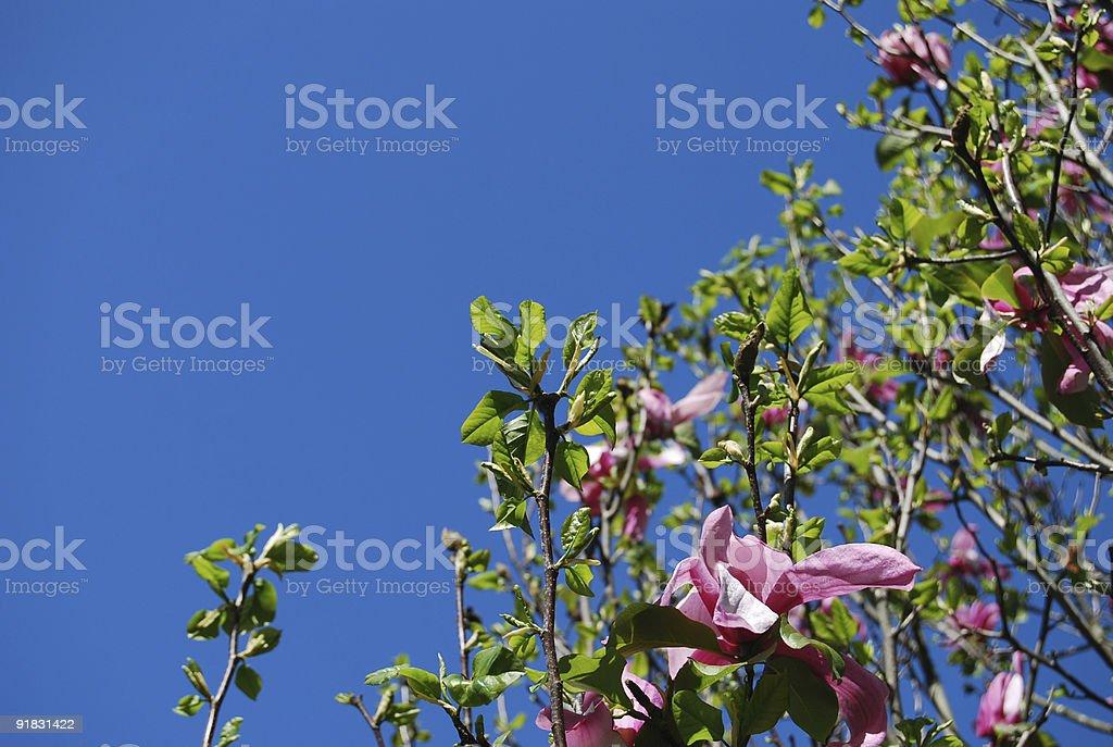 Magnolia tree blossoms royalty-free stock photo
