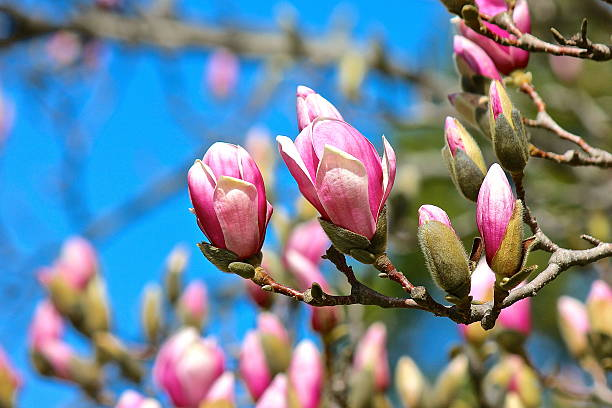 Magnolia tree flower blossoms blooming in spring stock photo
