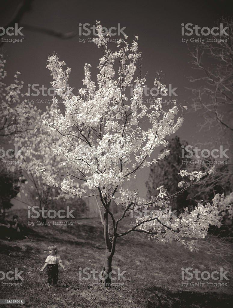 Magnolia tree in bloom. royalty-free stock photo