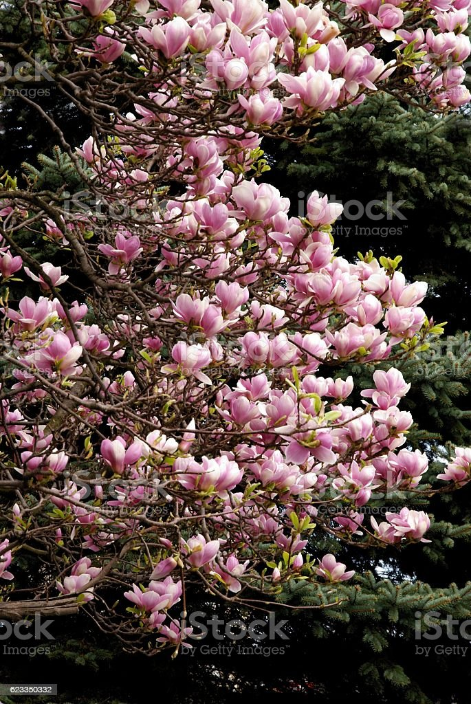 magnolia tree in blossom at spring stock photo