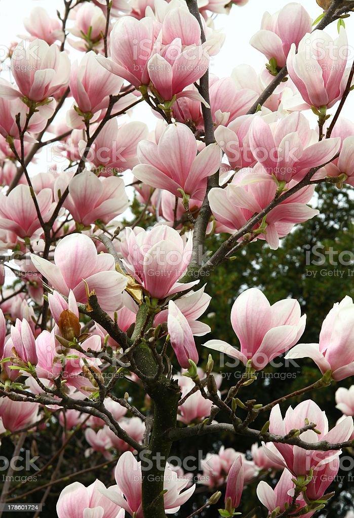 magnolia tree in blossom royalty-free stock photo