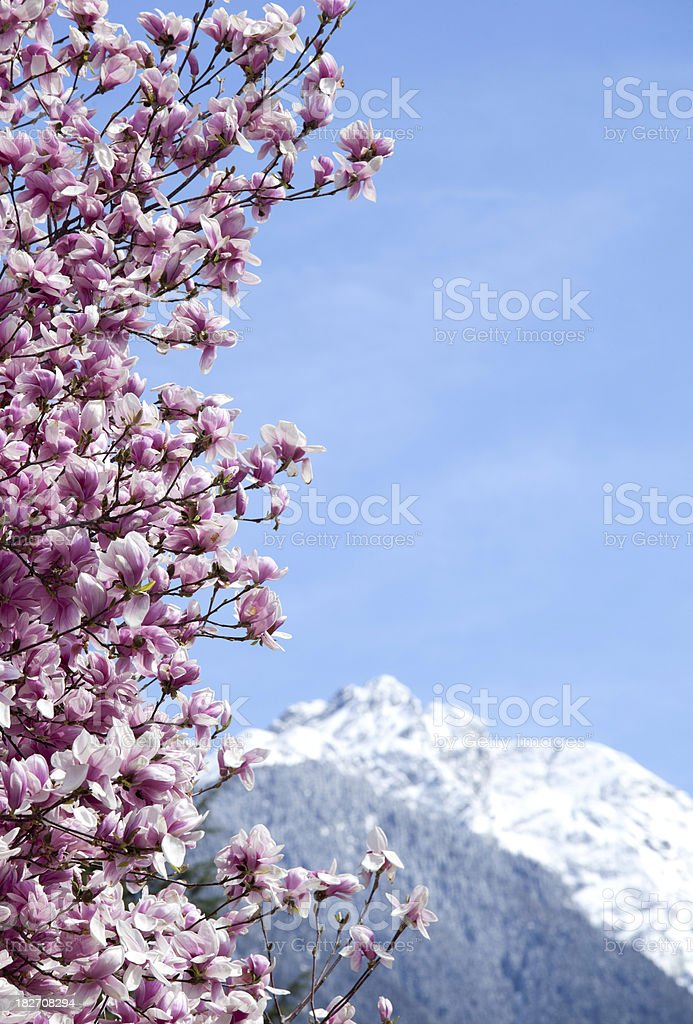 Magnolia tree in spring royalty-free stock photo
