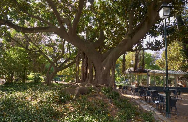 Magnolie im Principe Real Garten. Lissabon. Portugal. – Foto