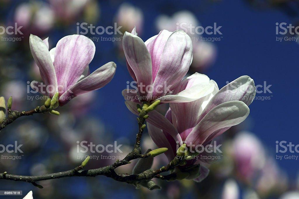 Magnolia tree royalty free stockfoto