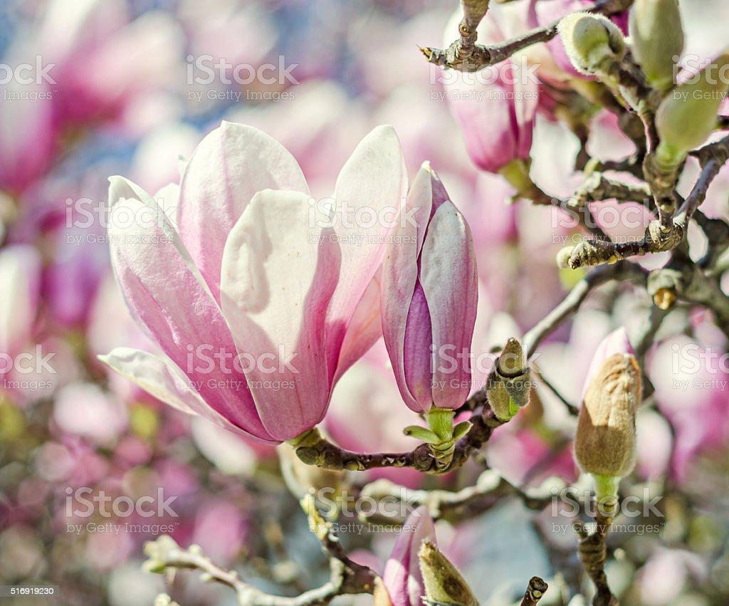 Magnolia tree pink purple flowers blue sky outdoor spring ti stock magnolia tree pink purple flowers blue sky outdoor spring ti royalty mightylinksfo