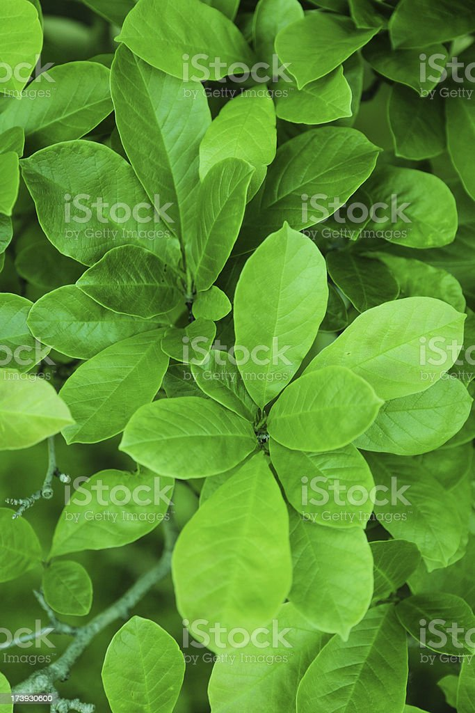 Magnolia tree with leaves stock photo