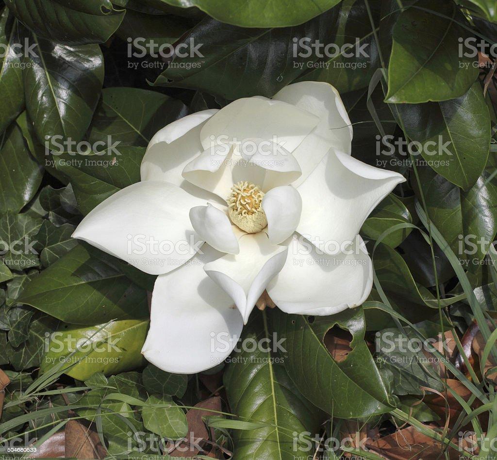 Large White Flowering Tree Magnolia Grandiflora Undulata Stock