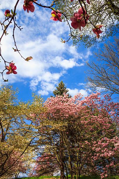 магнолия деревьев в bloom - rbg стоковые фото и изображения