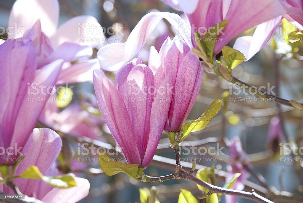 Magnolia  tulip tree royalty-free stock photo