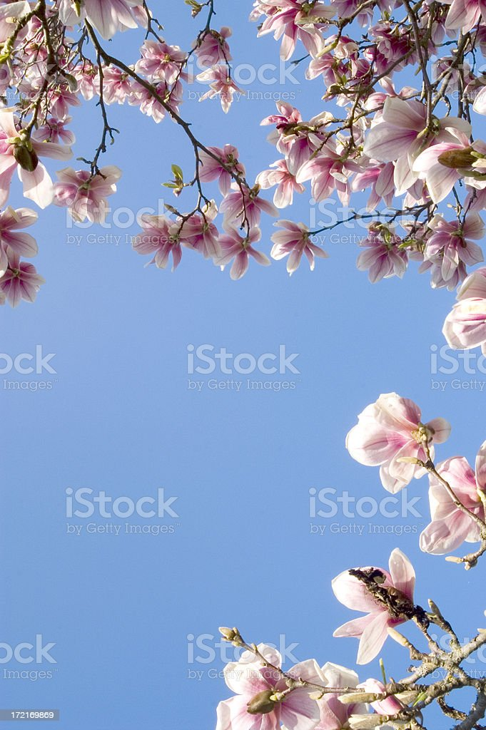 Magnolia versus sky royalty-free stock photo