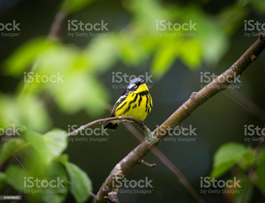 Magnolia Warbler. stock photo