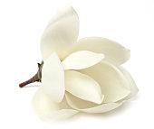 白モクレン、白い春の花