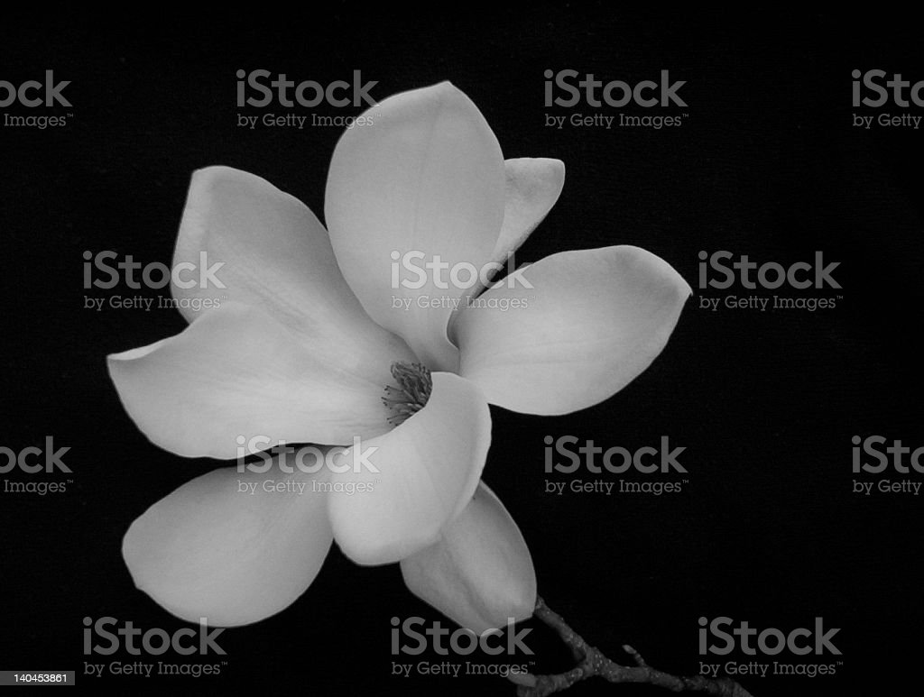 Magnolia2 royalty-free stock photo