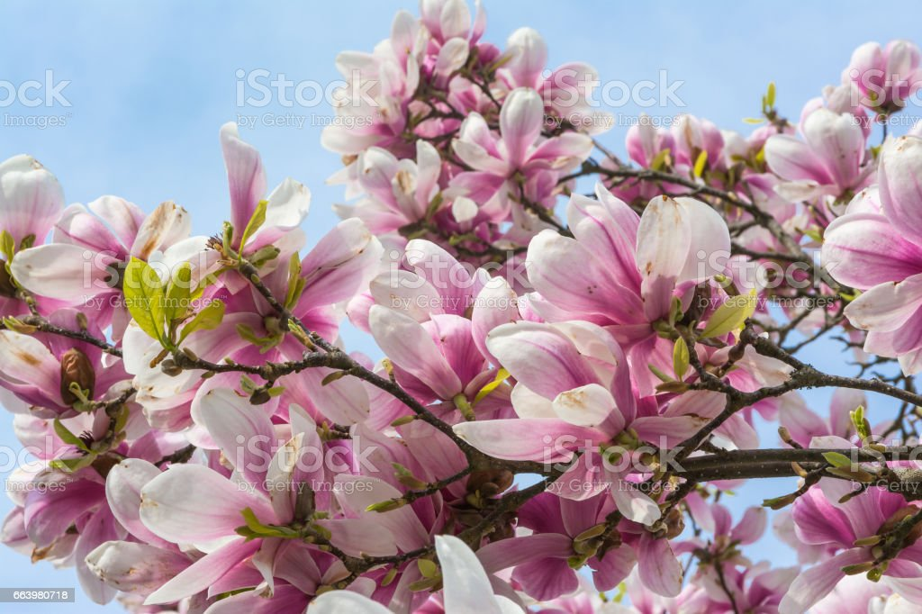 Magnolias Blooming on Blue Sky Background Beautiful Plants Real Outdoor Foliage Tree Decoration Purple White stock photo