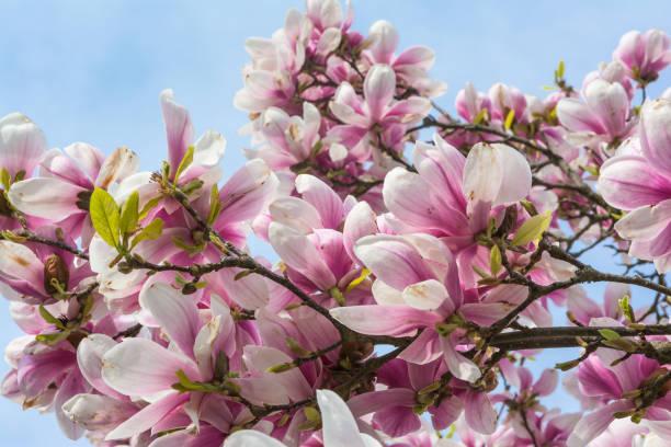 Magnolien blühen auf blauen Himmel Hintergrund schöne Pflanzen im freien Laub Baumschmuck lila weiß – Foto