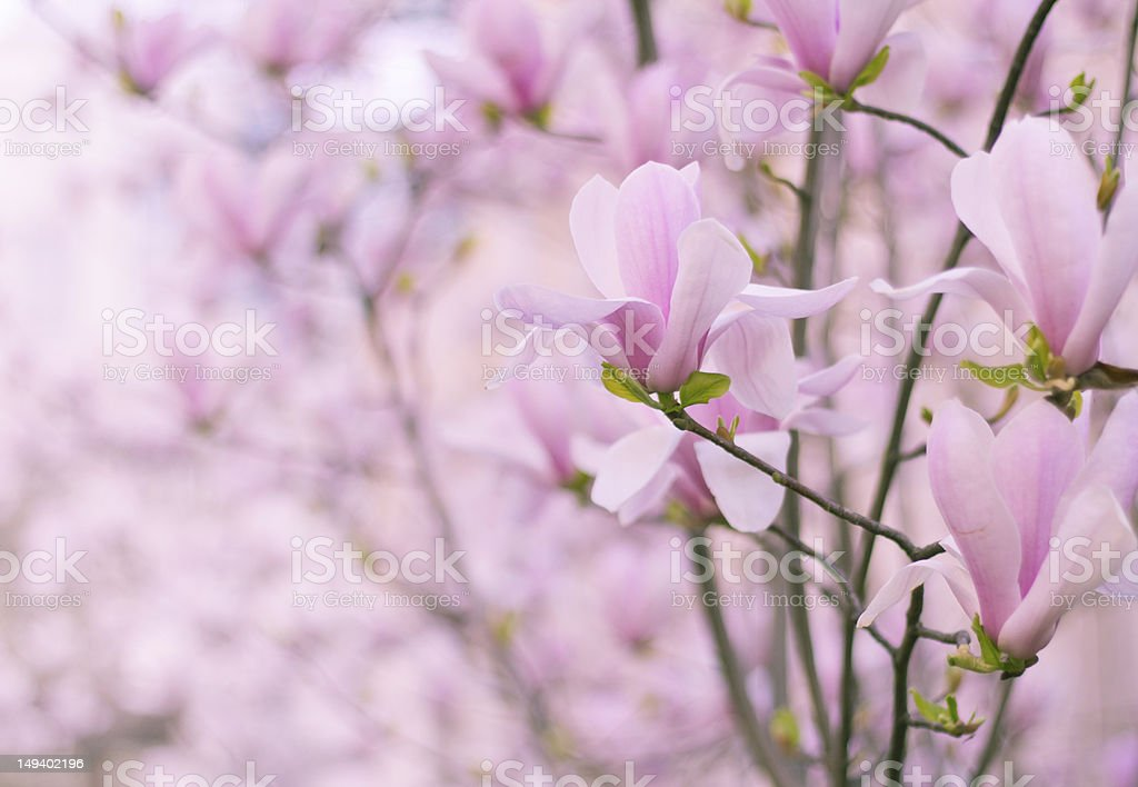 Magnolias in bloom royalty-free stock photo