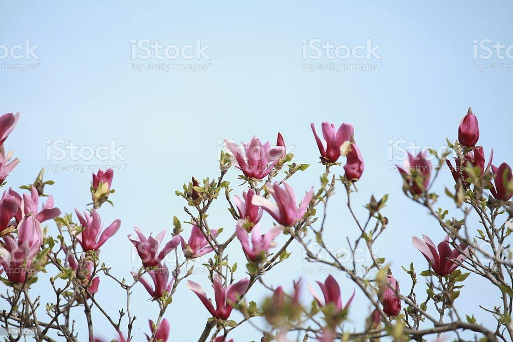 magnolias in bloom stock photo