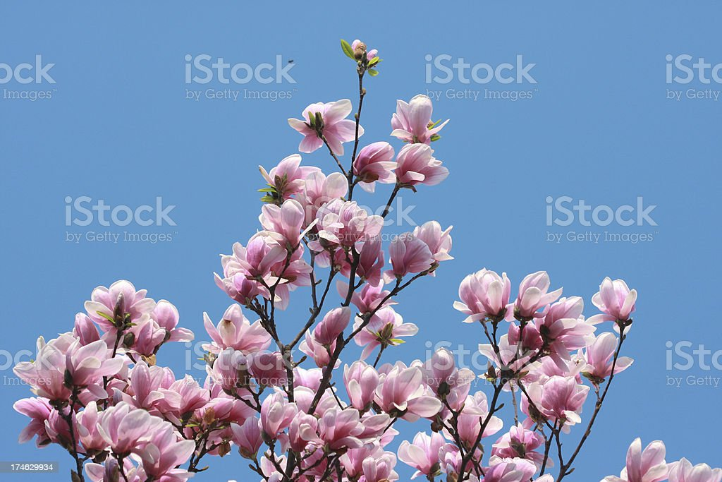magnolias royalty-free stock photo