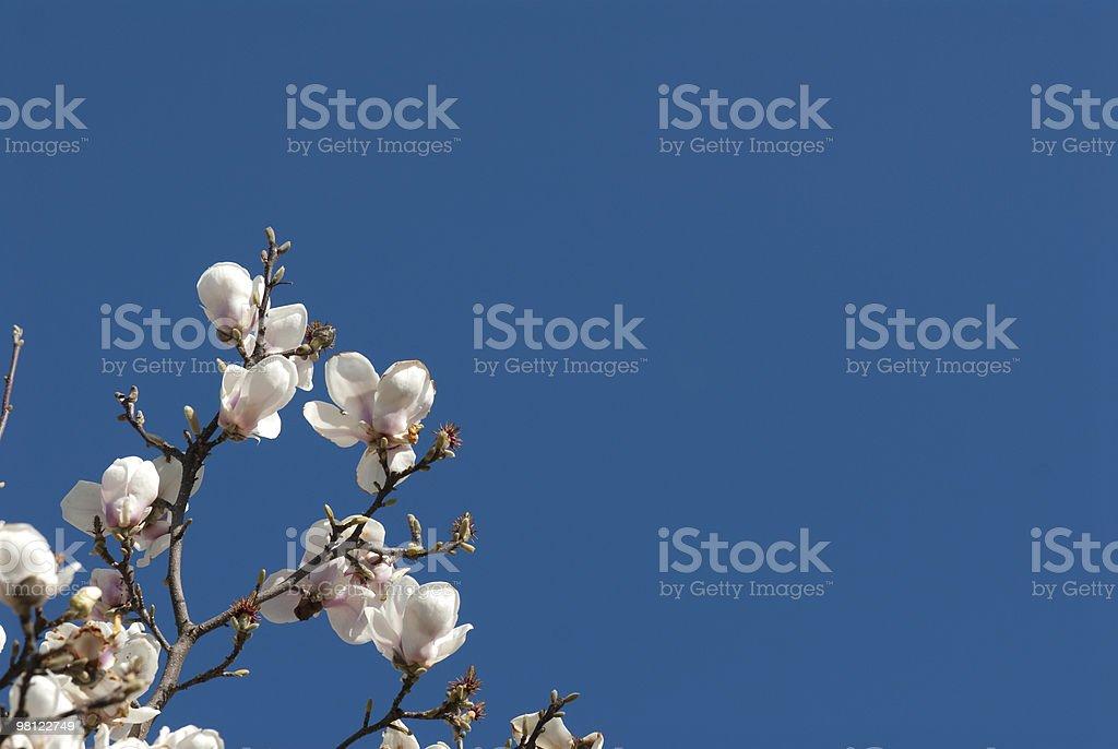 Magnolias royalty-free stock photo