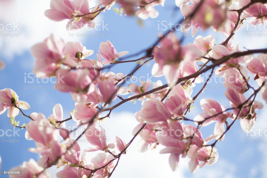 Magnolias relating to the blue sky stock photo