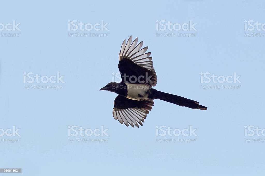 magpie bird flying high in the blue sky, wings spread stock photo